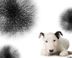 Little Bull Terrier Powerpoint