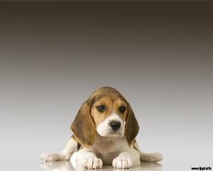 Perro Beagle Powerpoint PPT Template